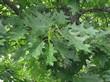 Летняя листва лиственного дерева Дуб красный (Дуб остролистный)