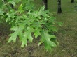 Ветка с листьями листопадного дерева Дуб красный (Дуб остролистный)