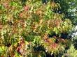 Осенняя листва на крупномерном дереве Дуб красный (Дуб остролистный)