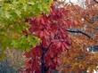 Красная, желтая и оранжевая осенняя листва на деревьях вида Дуб красный (Дуб остролистный)