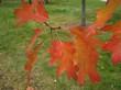 Осенние листья красной окраски с листопадного дерева Дуб красный (Дуб остролистный)