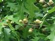 Жёлуди на дереве вида Дуб красный (Дуб остролистный)
