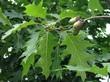 Ветка взрослого дерева Дуб красный (Дуб остролистный) с листьями и желудями