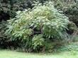 Крупномерное лиственное дерево Орех серый у границы территории участка
