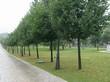 Крупномерные лиственные деревья Липа мелколистная (Липа сердцелистная, Липа сердцевидная) высаженные в аллею