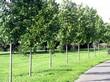Крупномерные лиственные деревья Липа крупнолистная высаженные в аллею в парке