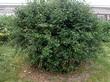 Крупномерный лиственный кустарник Ирга круглолистная в плодовом саду