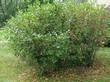 Лиственный плодовый крупномерный кустарник Черноплодная рябина (Арония черноплодная)