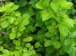 Листва плодового кустарника Айва японская (Хеномелес японский)