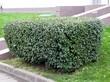 Стриженый крупномерный лиственный кустарник Кизильник блестящий возле офисного центра