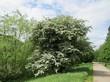 Крупномерное лиственное дерево Боярышник однопестичный в ландшафтном парке