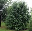 Крупномерный лиственный кустарник Черёмуха обыкновенная (Черёмуха птичья)