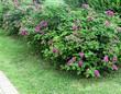 Декоративный лиственный кустарник Роза морщинистая (Шиповник морщинистый) в городском сквере