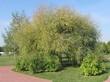 Крупномерное лиственное дерево Ива белая (Ветла, Ива серебристая) в ландшафтном парке