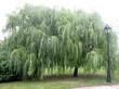 Крупномерные лиственные деревья сорта Ива белая Тристис высаженные в парке