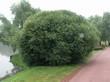 Крупномерное декоративное лиственное дерево Ива ломкая на берегу искусственного водоема