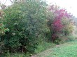 Крупномерные декоративные лиственные деревья Клён гиннала (Клён приречный) по границе участка