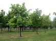 Крупномерные лиственные деревья Клён остролистный (Клён платановидный) в городском парке
