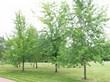 Крупномерные лиственные деревья Клён серебристый (Клён сахаристый) в городском парке