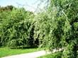 Крупномерные декоративные лиственные деревья Клён серебристый (Клён сахаристый) Лациниатум Виери возле садовой дорожки в парке