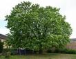 Декоративное лиственное дерево-крупномер Конский каштан обыкновенный на территории двора