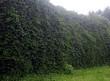 Декоративное растение Девичий виноград пятилисточковый в живой зеленой изгороди