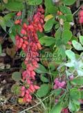 Плодовый крупномер Барбарис обыкновенный (Berberis vulgaris)