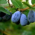 Плодовые крупномеры и саженцы Жимолость Нимфа