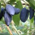 Плодовые крупномеры и саженцы Жимолость Избранница