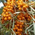 Плодовые крупномеры и саженцы Облепиха Золотой початок