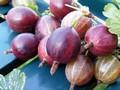 Плодовые крупномеры и саженцы Крыжовник Финик