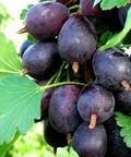 Плодовые крупномеры и саженцы Крыжовник Грушенька