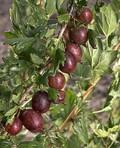Плодовые крупномеры и саженцы Крыжовник Ласковый
