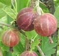 Плодовые крупномеры и саженцы Крыжовник Смена