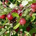 Плодовые крупномеры и саженцы Крыжовник Красный крупный