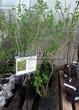 Саженцы и взрослый плодовый кустарник Смородина золотистая