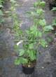 Плодовые крупномеры и саженцы Смородина черная Лентяй