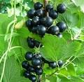 Плодовые крупномеры и саженцы Смородина черная Орловская серенада