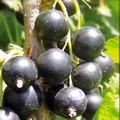 Плодовые крупномеры и саженцы Смородина черная Память Вавилова