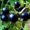 Плодовые крупномеры и саженцы Смородина черная Поэзия