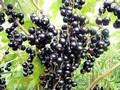 Плодовые крупномеры и саженцы Смородина чёрная Анади