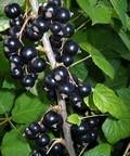 Плодовые крупномеры и саженцы Смородина чёрная Атлант