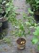 Плодовые крупномеры и саженцы Смородина черная Багира