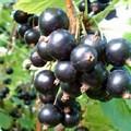 Плодовые крупномеры и саженцы Смородина черная Экзотика