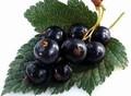Плодовые крупномеры и саженцы Смородина чёрная Надина