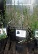Саженцы и взрослый плодовый кустарник Смородина чёрная Надина