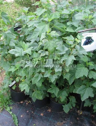 Плодовые кусты Смородина черная сорт Надина на выставочной площадке (Московская область)