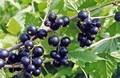 Плодовые крупномеры и саженцы Смородина чёрная Нара