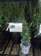 Саженцы и взрослый плодовый кустарник Смородина чёрная Нара