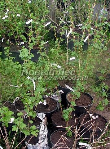 Саженцы плодового кустарника Смородина черная Нара в нашем питомнике Сады Ясногорья (Тульская область, Ясногорский район)